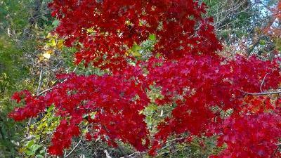 神戸市立森林植物園の紅葉 園内の紅葉 下巻。