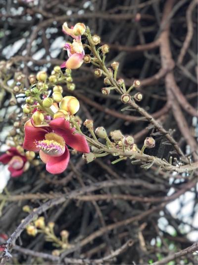 プノンペンの王宮で咲いていた 沙羅の花