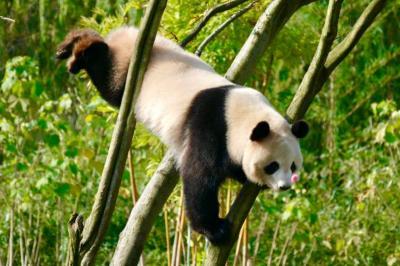 パンダが4匹! 絶好の晴天「長沙生態動物園」