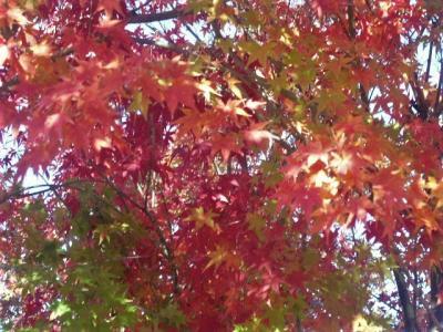 2018年11月 山口県・宇部市 蓮光寺の紅葉は今年は早かったです。