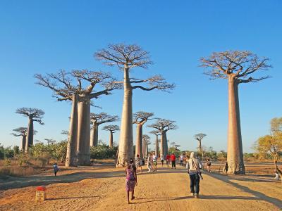 マダガスカル アンタナナリボ-モロンダバ バオバブ並木