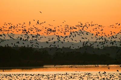 マガンの群れが飛ぶ、夜明けの空に、そして月を横切って: 伊豆沼と蕪栗沼、ガンの観察と撮影の旅