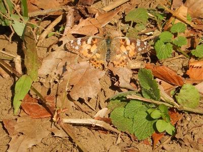 森のさんぽ道で見られた蝶(43)