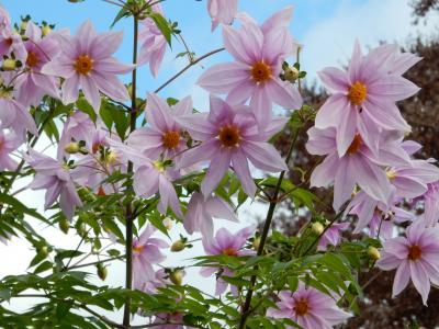 皇帝ダリアとバラが青空に映えて @ 代々木公園