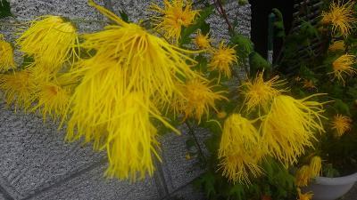 伊丹市鴻池地区 買い物ついでに菊花を求めての散策 上巻。