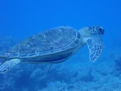 冬でも暖かい沖縄へ(9)慶良間ナガンヌ島と読谷村イナンビシでダイビング。ウミガメさんも。ウルトラマンホヤも