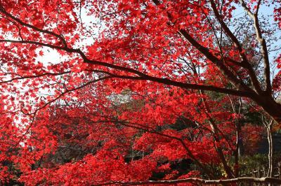 紅葉がふりそそぐ生田緑地
