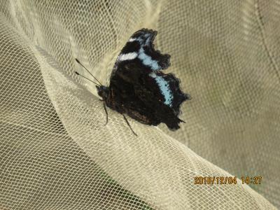 森のさんぽ道で見られた蝶(44)