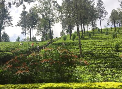 初めてのスリランカ☆ヌワラエリアでヘリタンスティーファクトリーに泊まって紅茶摘み体験&海辺のリゾート・ネゴンボへ