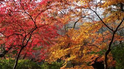 マダム3人 錦秋の秋月散歩
