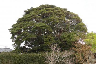 大磯町で見た姿の良い大木