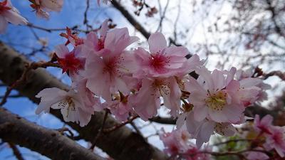 大阪池田市の紅葉・十月桜・ウォンバット(5) 池田城址公園の紅葉と十月桜 上巻。