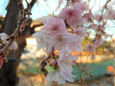 その後の亀久保西公園の冬桜