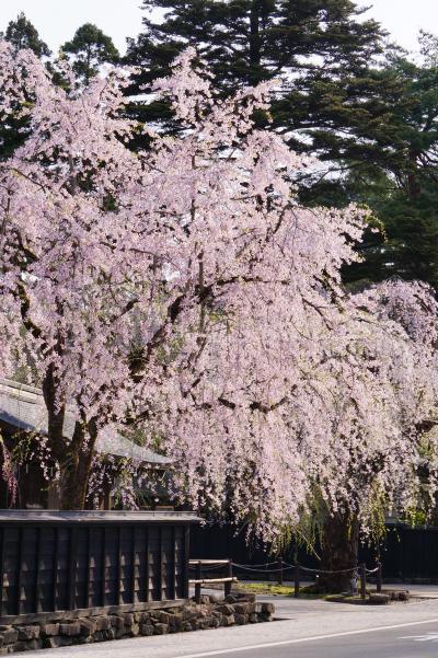 6.角館のしだれ桜