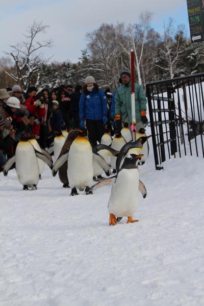旭山動物園 ペンギンの散歩初日