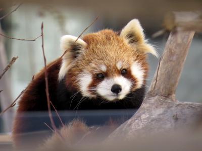 冬のレッサーパンダ紀行【5】札幌市円山動物園 イベントは特になし!! 普段着の冬のマルズをのんびり楽しみました