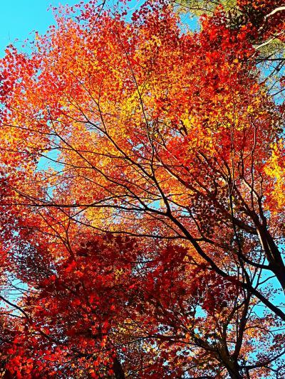 渋川 赤城自然園 探訪 紅葉真っ盛りのとき ☆自家用車に前橋から同乗し