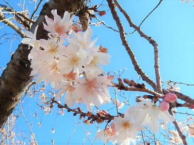 美しかった冬桜