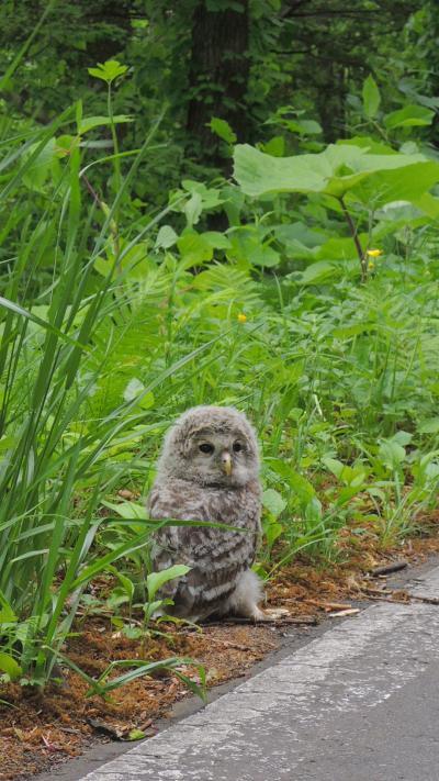 フクロウ!! 洞爺湖の道端で偶然の出会い 北海道
