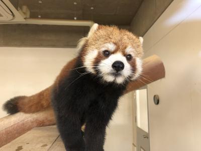 冬のレッサーパンダ紀行【6】福知山市動物園&京都市動物園&みさき公園&天王寺動物園 2018年最終のレサパン紀行は関西地方4園を回りました