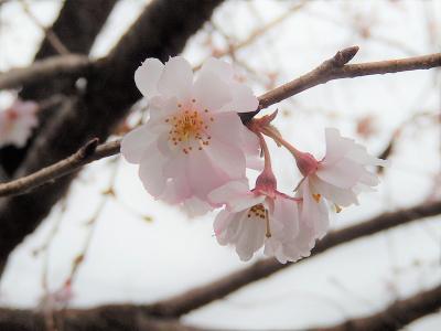 美しかった冬桜その後