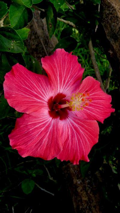 石垣島で出会える植物を集めてみた(12月)/食いしん坊の冬ぶらり旅「沖縄編」