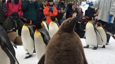 今季二度目のペンギンの散歩