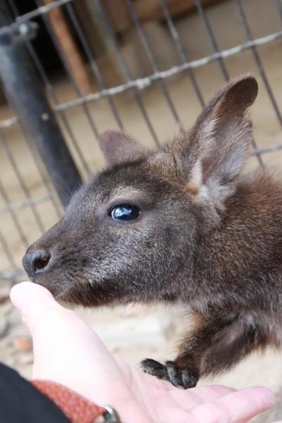 秋景色残る12月の埼玉こども動物自然公園(前編)コアラが見えなくて寂しいコアラ舎でシマオイワワラビーの赤ちゃんに会えた~カピバラ温泉とたる湯の赤ちゃんと人なつっこかったベネットアカクビワラビーの子供が可愛かった東園&ワオギツネザル舎とミニステージがあったなかよしコーナーの北園