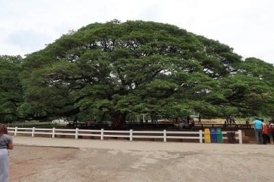 カンチャナブリ② ☆♪♪この木なんの木 気になる木ですから♪