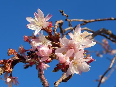 美しかった冬桜その後(12/30)
