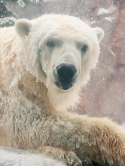 旭川-2 旭山動物園 ホッキョクグマ 4頭飼育され ☆悠然と歩き廻る北の王者