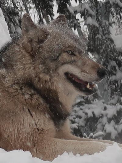 旭川-5 旭山動物園 シンリンオオカミ カナダ生まれ ☆日本固有オオカミは絶滅し