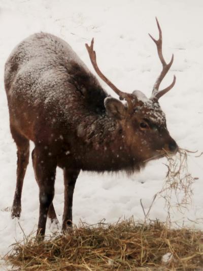 旭川-6 旭山動物園 エゾシカ 雄は立派なツノ付け ☆鹿数が増え被害も-対応難しく