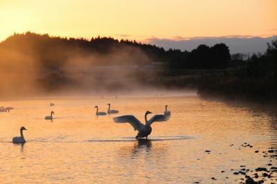 ◆阿武隈川・暁の白鳥 / 釈迦堂川・青雲の白鳥