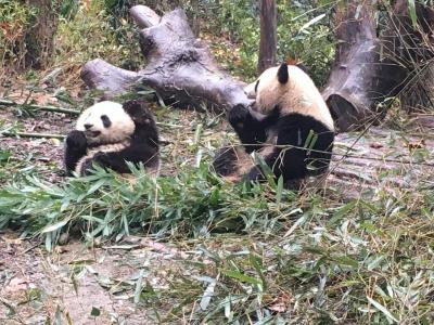 2018はじめての中国成都パンダに会いたい弾丸ツアー④
