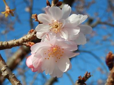 12月27日に見た冬桜
