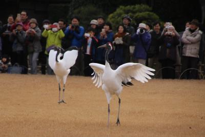 岡山後楽園初春祭りで丹頂鶴の放鳥をを観る