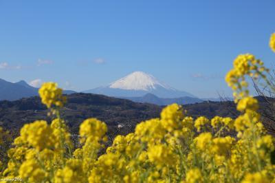 2019 早咲きの菜の花と富士山ウォッチング@吾妻山
