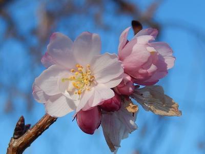 美しかった冬桜その後(1月4日観察)