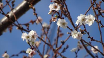 市立伊丹スポーツセンターへ、子福桜を見に行きました。