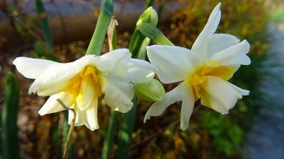 昼から、水仙の花を探して、大堀川花の道へぶらりと出掛けました 下巻。