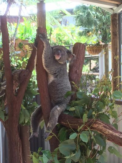 【オーストラリア】1/3作目 ゜*・そうだ!ケアンズへ行こう!キュランダ高原と、熟睡のコアラくん編・* ゜