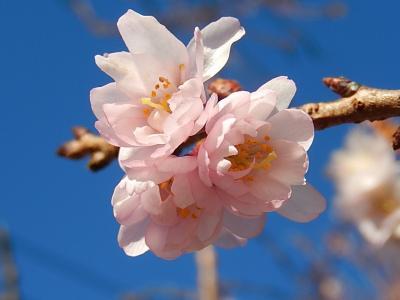 美しかった冬桜その後(1月7日観察)