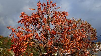 蝋梅の花を探しに宝塚市山本地区へ。