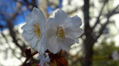 蝋梅と桜を探しに・・・伊丹市鴻池・荻野・東野・瑞原地区辺りを徘徊 上巻。