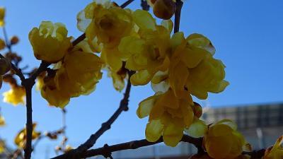 蝋梅と桜を探しに・・・伊丹市鴻池・荻野・東野・瑞原地区辺りを徘徊 下巻。