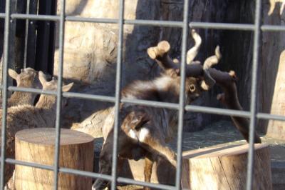 夢見ヶ埼動物公園-動物園のマーコール