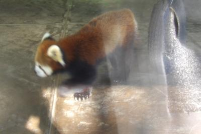 夢見ヶ埼動物公園-動物園のシセンレッサーパンダ