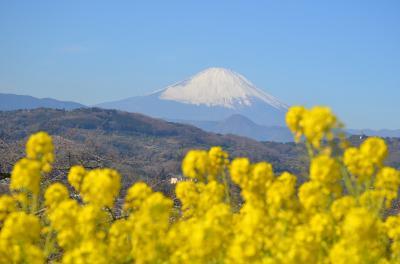 吾妻山公園 菜の花と富士山