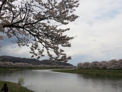 東北アリア花見~大河原町 白石川堤一目千本桜